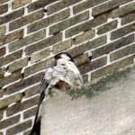 falcon-watch-6-26-11-009-stash