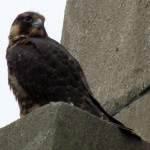falcon-watch-6-26-11-024-chessie