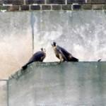 falcon-watch-6-26-11-046-cl