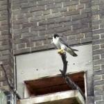 falcon-watch-6-26-11-080-stella