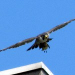 harlequin-banding-6-21-11-011-burlington-adult-with-prey