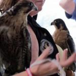 harlequin-banding-6-21-11-089-cpf-education-birds1