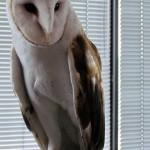 harlequin-banding-6-21-11-090-cpf-barn-owl