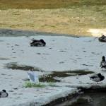 morning-watch-6-27-11-014-gull-amongst-ducks