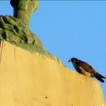 morning-watch-6-29-11-017-picking-at-prey