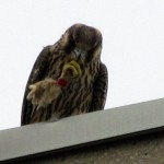 falcon-watch7-27-11-126-h-cleaning-up-after-a-meal