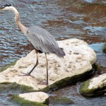 morning-watch-7-26-11-011-great-blue-heron