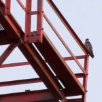 morning-watch-7-31-11-1st-falcon-sighting-of-the-day