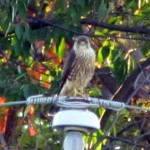 falcon-watch-10-05-11-016-merlin