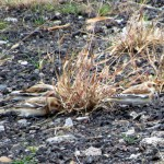 morning-afternoon-watch-11-20-11-029-snow-buntings