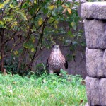 morning-afternoon-watch-11-20-11-041-coopers-hawk