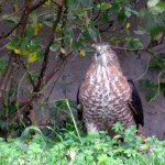 morning-afternoon-watch-11-20-11-042-coopers-hawk