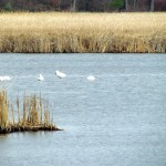 morning-watch-11-27-11-016-tundra-swans