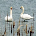 morning-watch-11-27-11-017-tundra-swans