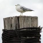 morning-watch-11-27-11-026-gull-at-summerville
