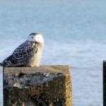 snowy-owl-watch-11-25-11-040-snowy