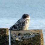 snowy-owl-watch-11-25-11-043-snowy1