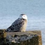 snowy-owl-watch-11-25-11-046-juvie-snowy