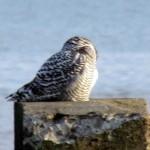 snowy-owl-watch-11-25-11-053-jms