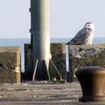 snowy-owl-watch-11-25-11-057-big-guy