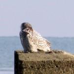 snowy-owl-watch-11-25-11-066-snowy