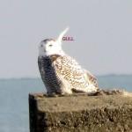 snowy-owl-watch-11-25-11-069-snowy