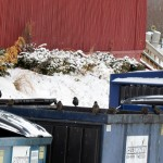 img_0466-starlings-dumpster-diving