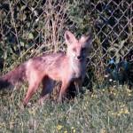 Kodak Park Fox - 7/10/12