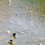 img_7020-canadian-geese-and-gulls