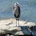 img_7024-great-blue-heron