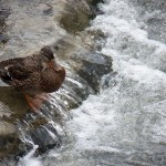 Duck on River