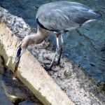 img_0493-gbh-catching-a-fish