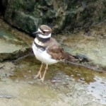 img_2175-killdeer
