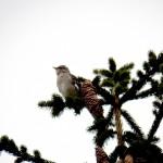 Mockingbird at Charlotte
