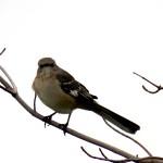 Mockingbird at KP