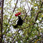 Crow eating apples in a tree at BS