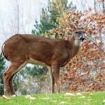 Apple eating deer at BS