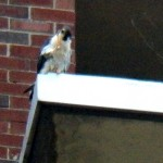 Unbanded Tiercel at BS - No Band on Right Leg - 11/24/12