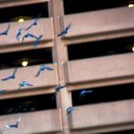 Blue Pigeons?