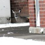 Deer at BS location - 12/25/12