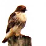 Red-tail Hawk 12/19/12
