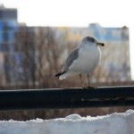 One gull keeping an eye on me from the railing of the Broad St Bridge - 12/30/12