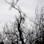 The tree I saw the falcon sitting in before it took off heading east. - 12/31/12
