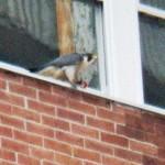 Pigott with prey at BS - 12/23/12