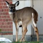 img_4324-deer-at-bs