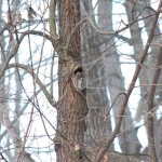 5915a-eastern-screech-owl-megascops-asio-gray-morph