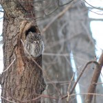 5915b-eastern-screech-owl-sleeping-in-tree-cavity