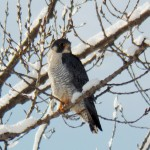 BST in a tree next to parking lot at BS location - 2/10/13