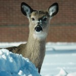 Peek-a-boo Deer at BS - 2/10/13