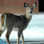 Curious Deer at BS - 2/10/13